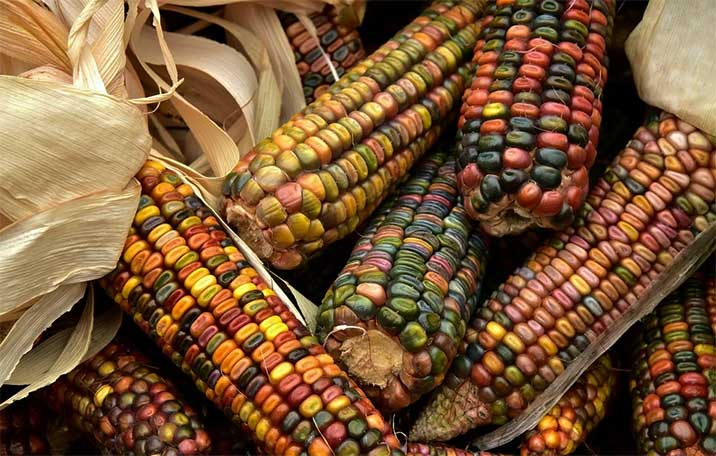Mexico has many types of corn.
